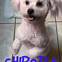 Adopt A Pet :: CHIPOTLE - Phoenix, AZ