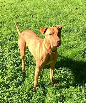 Labrador Retriever/American Bulldog Mix Dog for adoption in Glenwood, Georgia - Peanut Butter