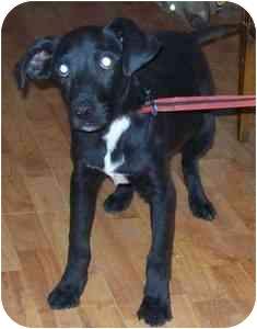 Labrador Retriever Mix Puppy for adoption in Portsmouth, Rhode Island - April - local