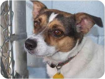 Rat Terrier Mix Dog for adoption in El Cajon, California - Jimmy
