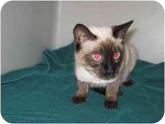Siamese Cat for adoption in Gallup, New Mexico - Sumiko