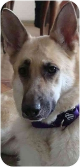 German Shepherd Dog Dog for adoption in Rochester/Buffalo, New York - Katie