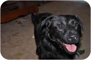 Chow Chow/Labrador Retriever Mix Dog for adoption in Bowie, Maryland - Ruger