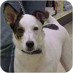 Jack Russell Terrier Mix Dog for adoption in Austin, Texas - Walter in Houston