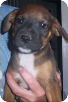 Shepherd (Unknown Type) Mix Puppy for adoption in Richmond, Virginia - Gibb