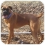 Photo 4 - Boxer Dog for adoption in Middlesex, New Jersey - Rocky & Rambo