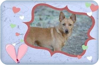 Basenji Mix Dog for adoption in Brattleboro, Vermont - Crocket
