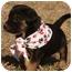 Photo 4 - Labrador Retriever Mix Puppy for adoption in Cranford, New Jersey - Luke