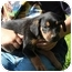 Photo 2 - Rottweiler Mix Puppy for adoption in Hagerstown, Maryland - Miss Piggy