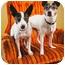 Photo 2 - Rat Terrier/Boston Terrier Mix Dog for adoption in Portland, Oregon - Macie & Dot