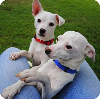 Chihuahua Mix Dog for adoption in Yuba City, California - Tea Cup and Teaspoon