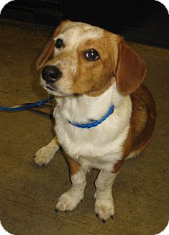Corgi Mix Puppy for adoption in LaGrange, Kentucky - PEBBLES