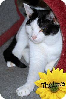 Domestic Shorthair Cat for adoption in River Edge, New Jersey - Thelma