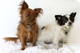 Papillon/Pomeranian Mix Dog for adoption in Santa Monica, California - Panda Bear