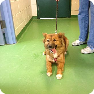 Sheltie, Shetland Sheepdog/Finnish Spitz Mix Dog for adoption in South Haven, Michigan - Lady
