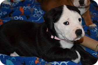 Labrador Retriever/Boxer Mix Puppy for adoption in Knoxville, Tennessee - Clare
