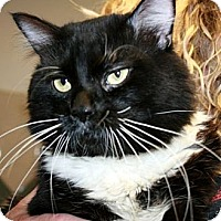 Domestic Mediumhair Cat for adoption in Canoga Park, California - Boots