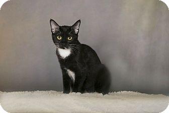 Domestic Shorthair Cat for adoption in Charlotte, North Carolina - A..  Ashley