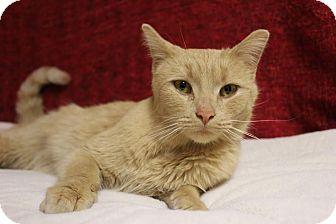 Domestic Shorthair Cat for adoption in Midland, Michigan - Tawnya
