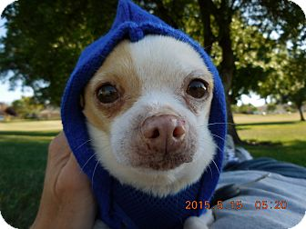 Chihuahua Mix Dog for adoption in Tracy, California - Peewee