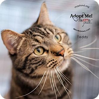 Domestic Shorthair Cat for adoption in Denver, Colorado - Teddy