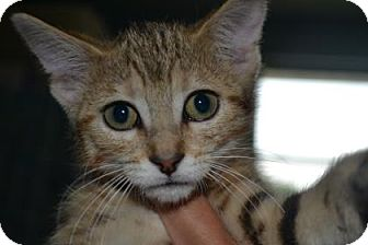 Domestic Shorthair Kitten for adoption in Edwardsville, Illinois - Fern
