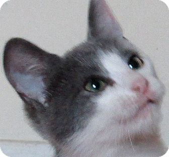 Domestic Shorthair Kitten for adoption in Cleveland, Ohio - Gabby