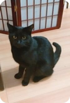 Domestic Shorthair Cat for adoption in Vancouver, British Columbia - Trajan