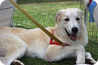 Akbash/Great Pyrenees Mix Dog for adoption in Sagaponack, New York - Tucker