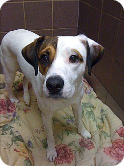 Jack Russell Terrier/Border Collie Mix Dog for adoption in Guelph, Ontario - Luke Skywalker