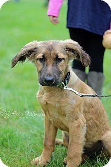 Shepherd (Unknown Type) Mix Puppy for adoption in Sagaponack, New York - Ginger