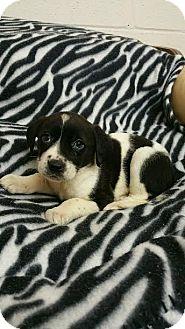 Coonhound Mix Puppy for adoption in Sandersville, Georgia - Beth