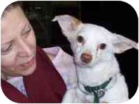 Chihuahua/Terrier (Unknown Type, Medium) Mix Puppy for adoption in Long Beach, New York - Whitey