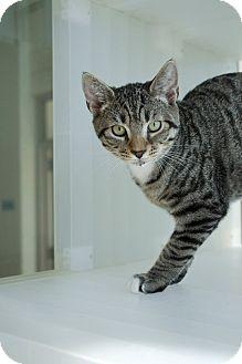 Domestic Shorthair Kitten for adoption in Prince George, Virginia - Moe