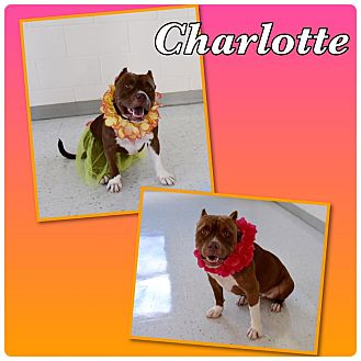 Pit Bull Terrier Mix Dog for adoption in Loxahatchee, Florida - Charlotte-Pawsitive Direction