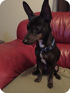 Miniature Pinscher Mix Puppy for adoption in Denver, Colorado - George