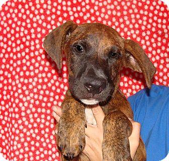 Mastiff/American Bulldog Mix Puppy for adoption in Oviedo, Florida - Danny