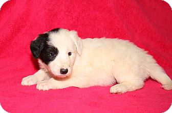 Great Pyrenees/Golden Retriever Mix Puppy for adoption in Orland Park, Illinois - BF2