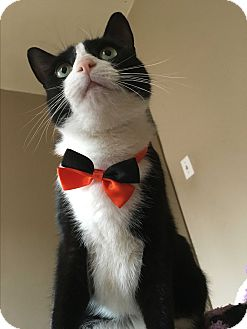 American Shorthair Cat for adoption in New York, New York - Sylvester