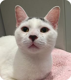 Domestic Shorthair Cat for adoption in Lafayette, New Jersey - Noah