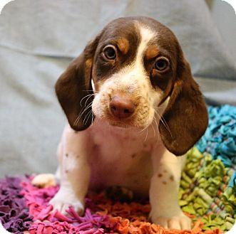Beagle/English Pointer Mix Puppy for adoption in Staunton, Virginia - Percival