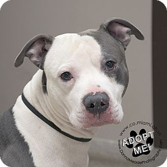 Pit Bull Terrier Dog for adoption in Troy, Ohio - Murphy