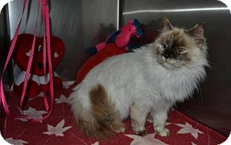 Himalayan Cat for adoption in Mebane, North Carolina - Freya