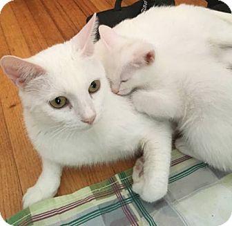 Domestic Shorthair Cat for adoption in Marina del Rey, California - Snow