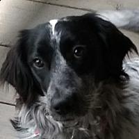 Adopt A Pet :: PIPER - Pine Grove, PA