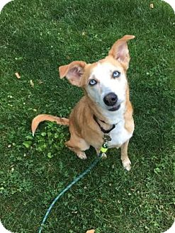 Australian Cattle Dog Mix Dog for adoption in Oak Park, Illinois - Gypsie