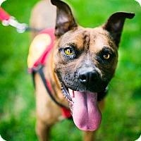 Boxer Mix Dog for adoption in Washington, D.C. - Maple