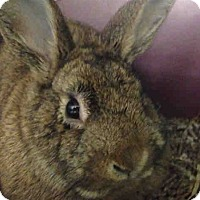 Netherland Dwarf for adoption in Pittsburgh, Pennsylvania - Sprinkles