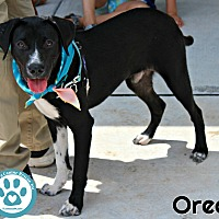 Adopt A Pet :: Oreo - Kimberton, PA
