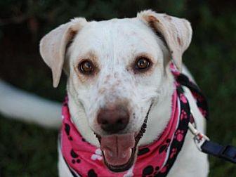 Basset Hound/Labrador Retriever Mix Dog for adoption in Bedminster, New Jersey - Calla - MEET ME @ PETCO 9/23!